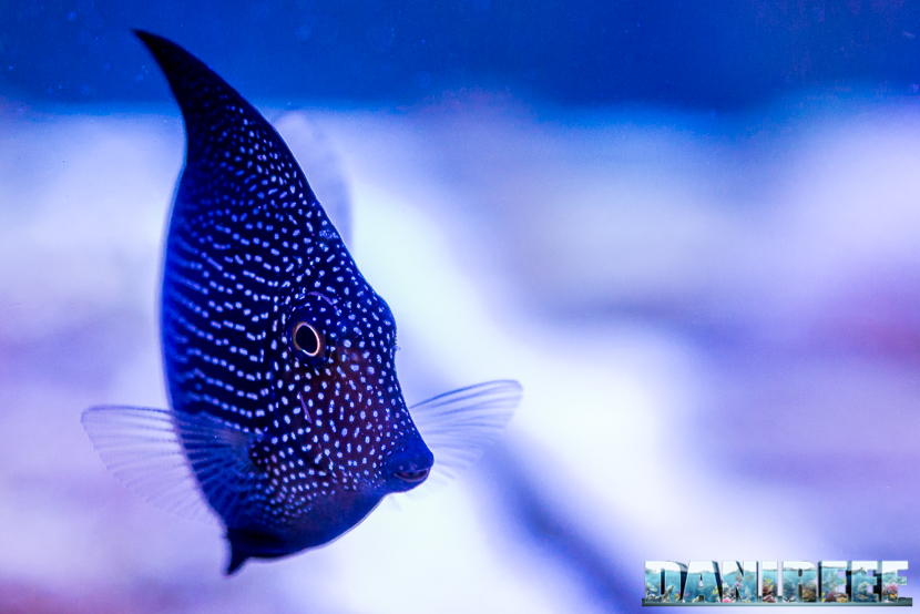 201805 dejong marinelife, interzoo, pesce chirurgo, pesci, Zebrasoma gemmatum 24 Copyright by DaniReef