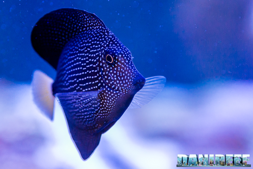 201805 dejong marinelife, interzoo, pesce chirurgo, pesci, Zebrasoma gemmatum 25 Copyright by DaniReef
