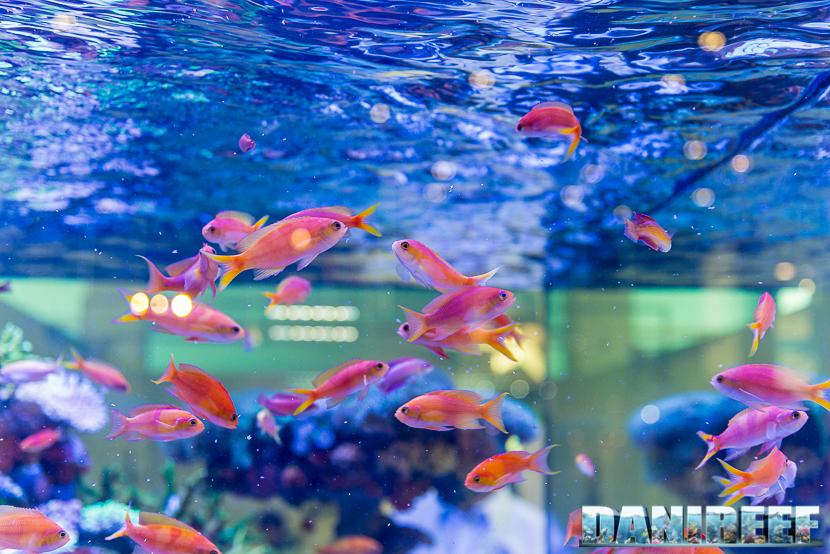 201805 dejong marinelife, interzoo, pesci, pseudanthias 60 Copyright by DaniReef