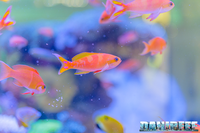 201805 dejong marinelife, interzoo, pesci, pseudanthias 61 Copyright by DaniReef