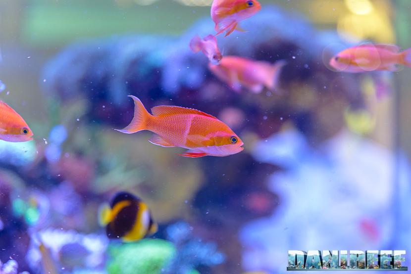 201805 dejong marinelife, interzoo, pesci, pseudanthias 62 Copyright by DaniReef