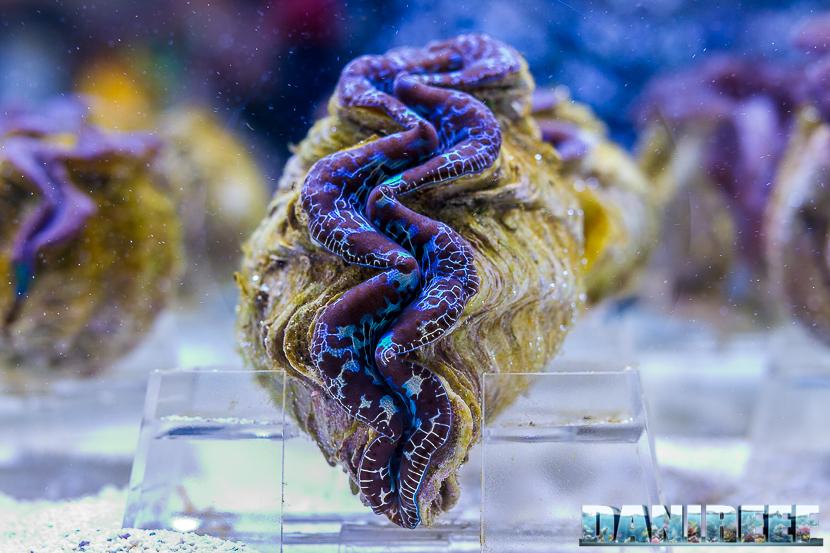 201805 dejong marinelife, interzoo, tridacna, tridacna maxima 01 Copyright by DaniReef