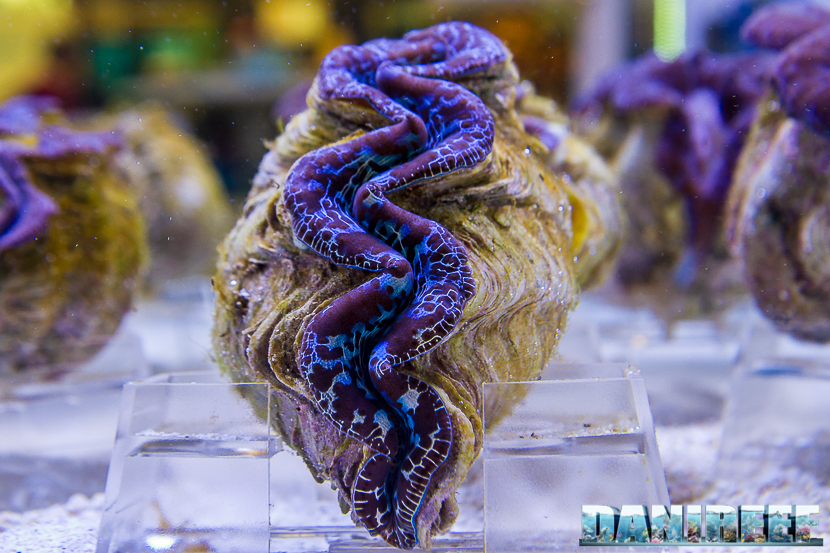 201805 dejong marinelife, interzoo, tridacna, tridacna maxima 48 Copyright by DaniReef
