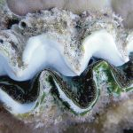 How? Why? This Giant Clam Bleached On Just One Side