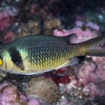 Chromis torquata, A Distinctive New Damselfish From Mauritius