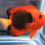 The Eclipse Flame Angelfish Is A Chic New Centropyge