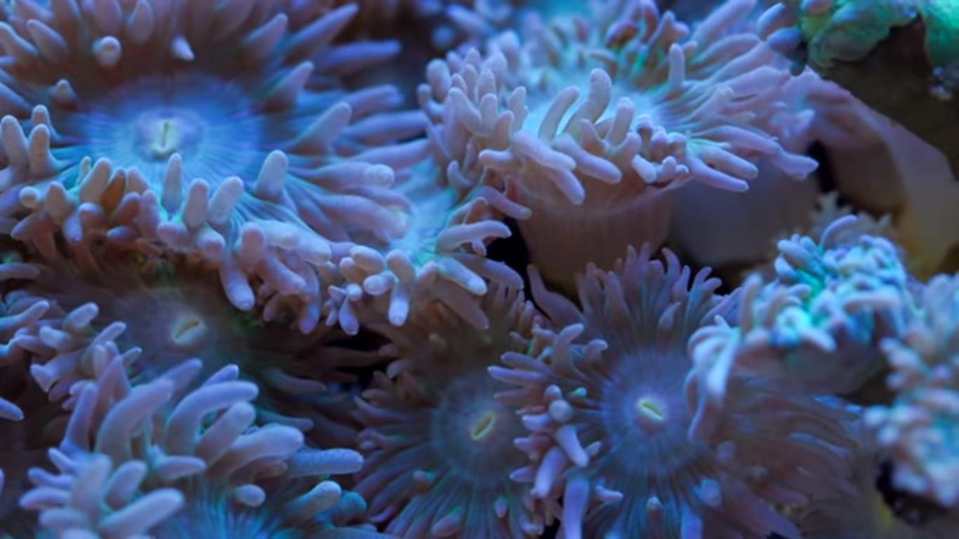 duncan coral