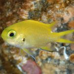 Chromis katoi, Japan's Newest Damselfish Is Bright Yellow