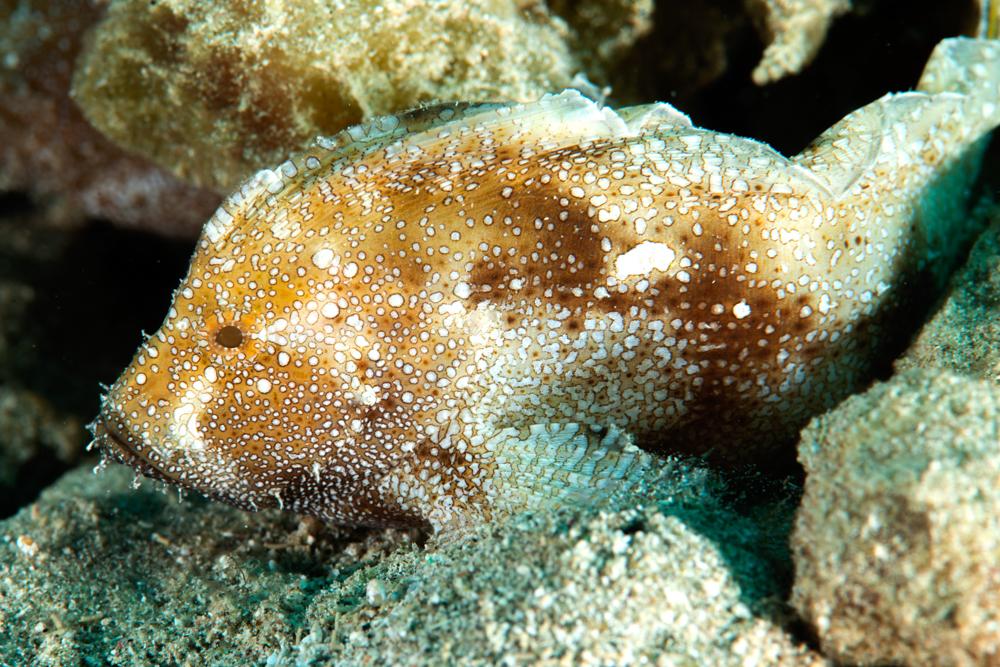 velvet fish
