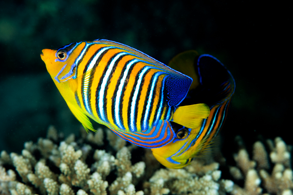 regal angelfish Pigoplytes diacanthus