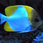 yellow pyramid butterflyfish