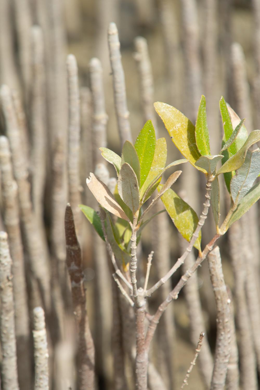 mangrove leaf leaves