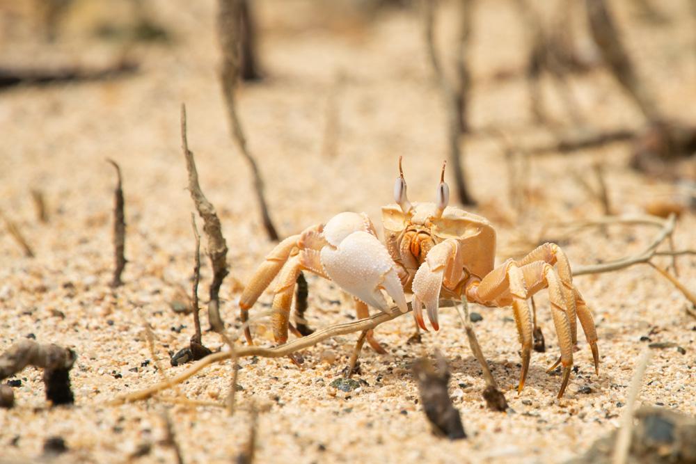 white handed fiddler crab
