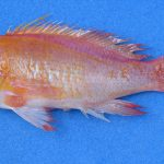 Pseudanthias emma, A New Deepwater Anthias With Long Threads On Its Tail