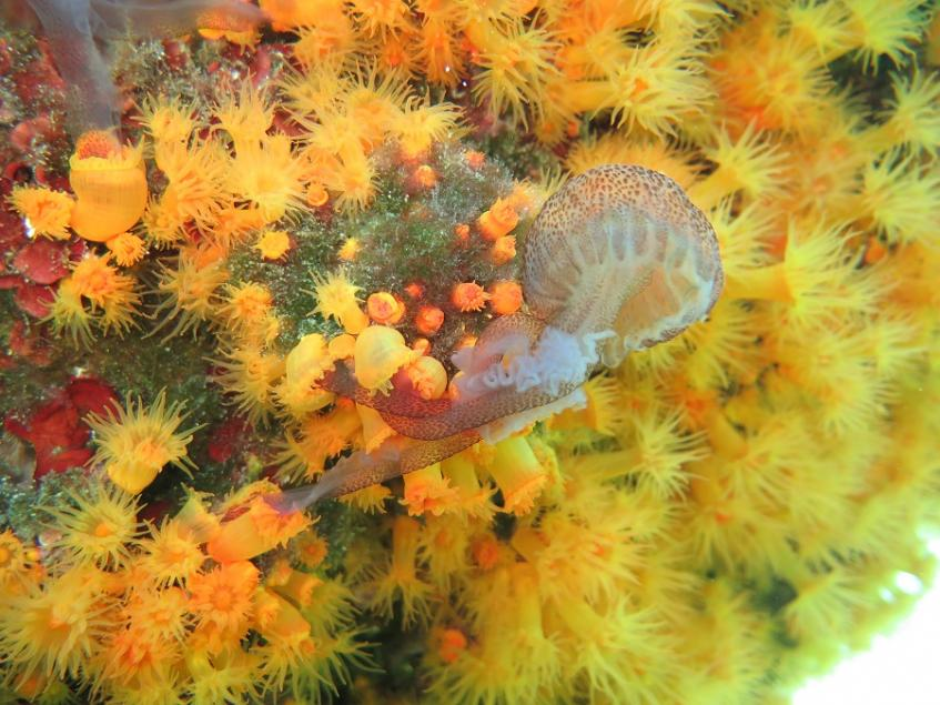 Astroides calycularis, jellyfish