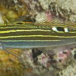 Koumansetta hoesei, A New Hector's Goby From The Red Sea?!