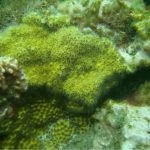 Oculina patagonica, (Possibly) A New Invasive Stony Coral In The Caribbean