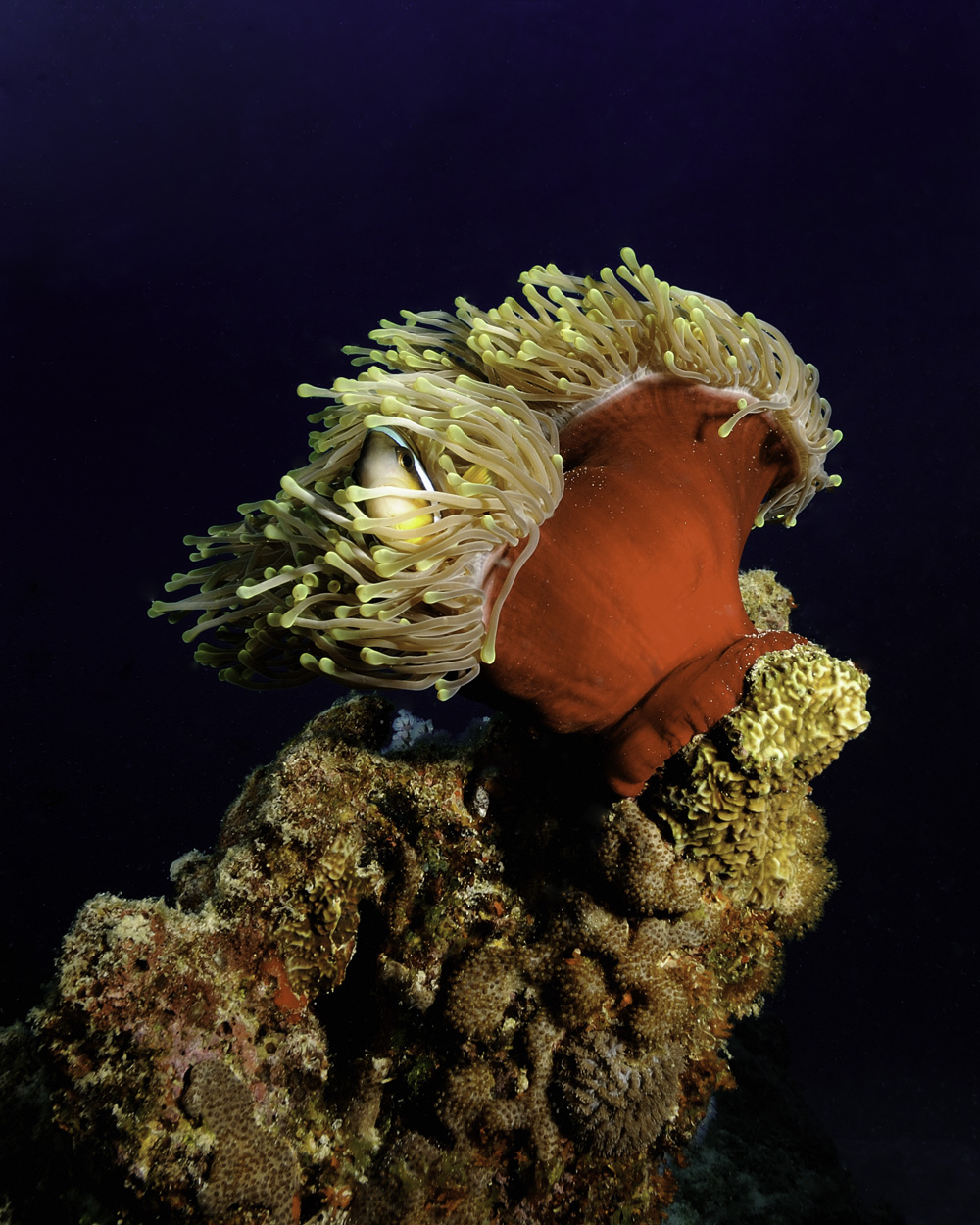 clown fish, Amhiprion chrysogaster