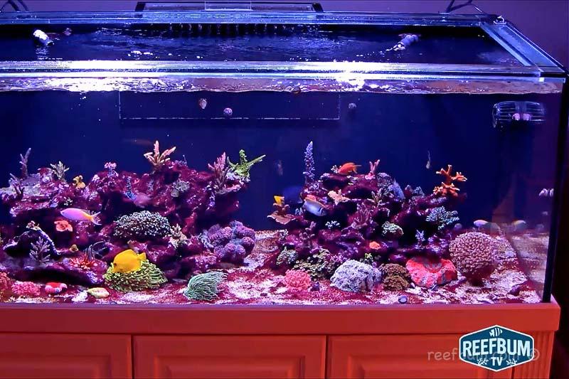 reef tank cyano