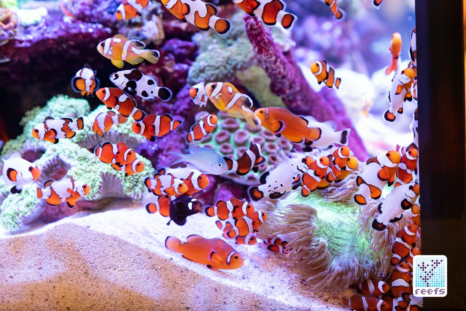 Neptune reef tank clownfish