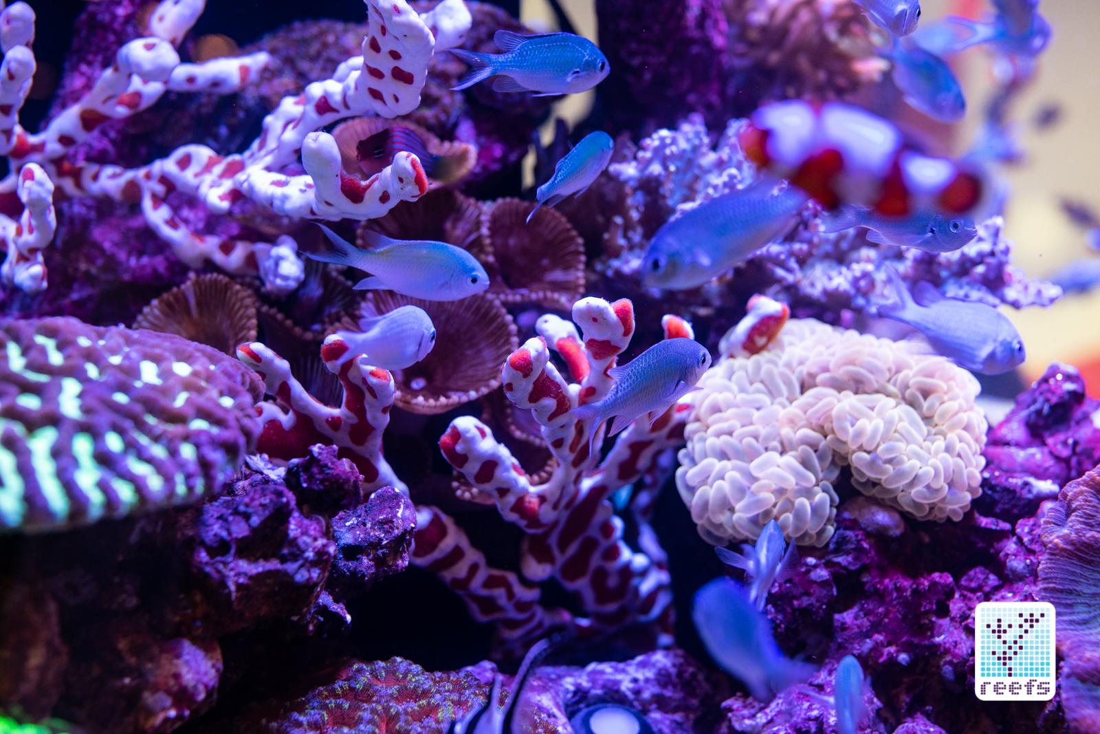 Neptune reef tank chromis