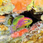 Tosanoides aphrodite, A Spectacular & Very Unexpected New Anthias