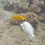 On White Tangs & Genomic Islands