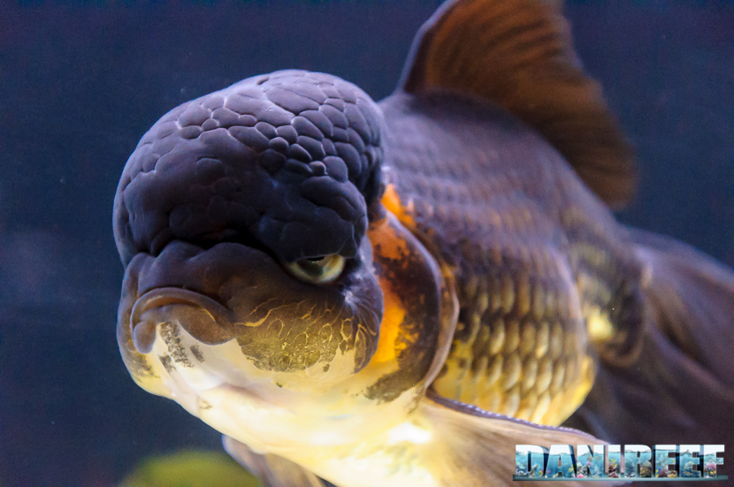 2017_10_goldfish-experience-pesci-rossi-petsfestival-2017-sera_218