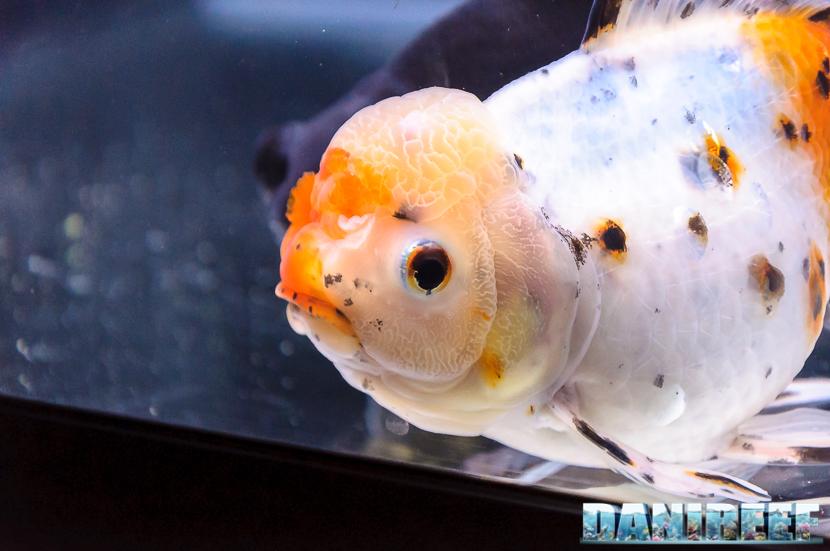 2017_10_goldfish-experience-pesci-rossi-petsfestival-2017-sera_301