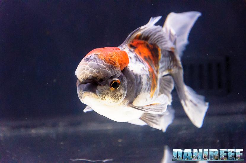 2017_10_goldfish-experience-pesci-rossi-petsfestival-2017-sera_302