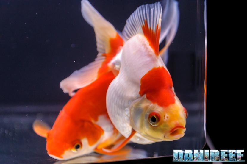 2017_10_goldfish-experience-pesci-rossi-petsfestival-2017-sera_304