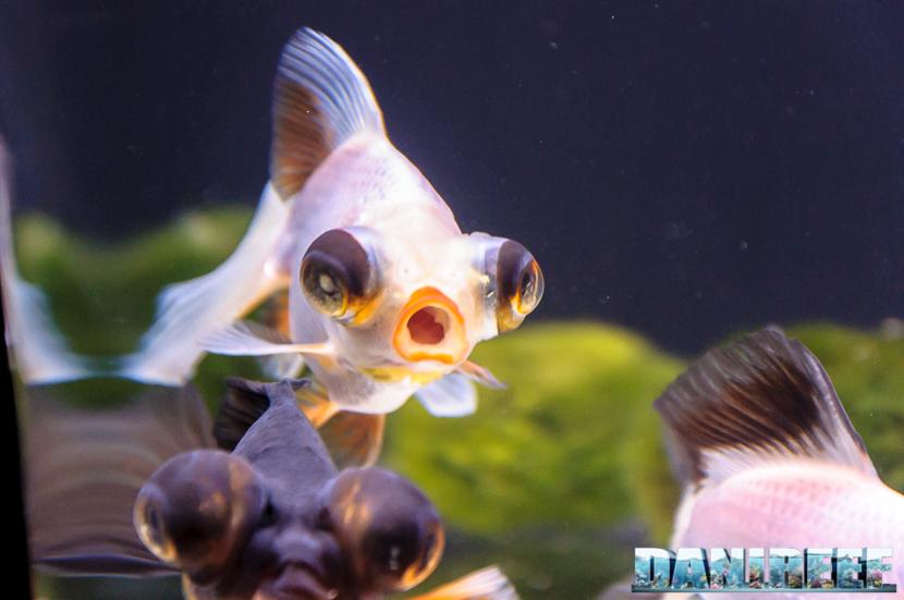 2017_10_goldfish-experience-pesci-rossi-petsfestival-2017-sera_305