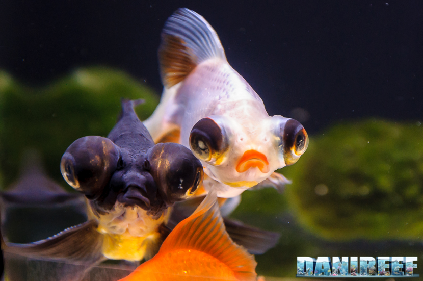 2017_10_goldfish-experience-pesci-rossi-petsfestival-2017-sera_306