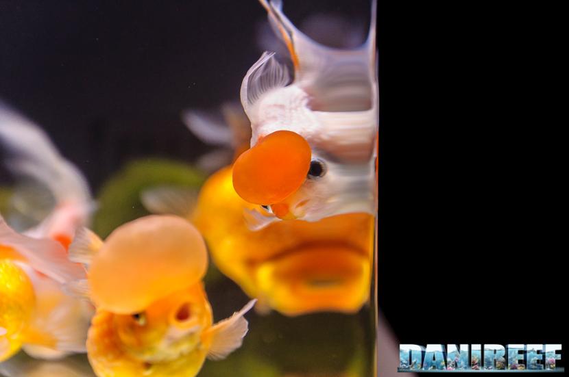 2017_10_goldfish-experience-pesci-rossi-petsfestival-2017-sera_309