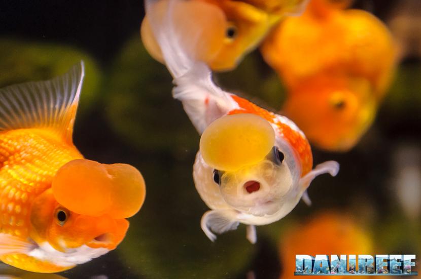 2017_10_goldfish-experience-pesci-rossi-petsfestival-2017-sera_311
