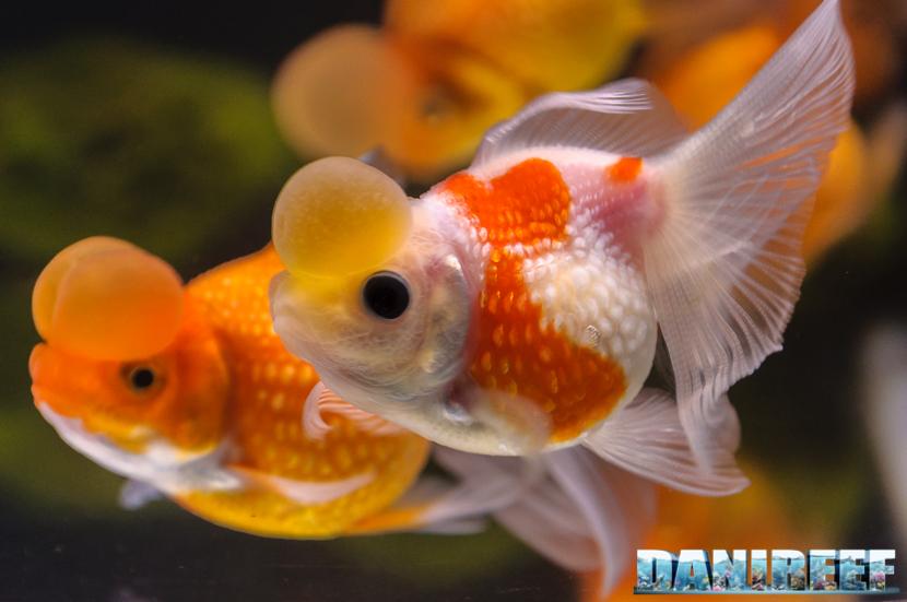 2017_10_goldfish-experience-pesci-rossi-petsfestival-2017-sera_312