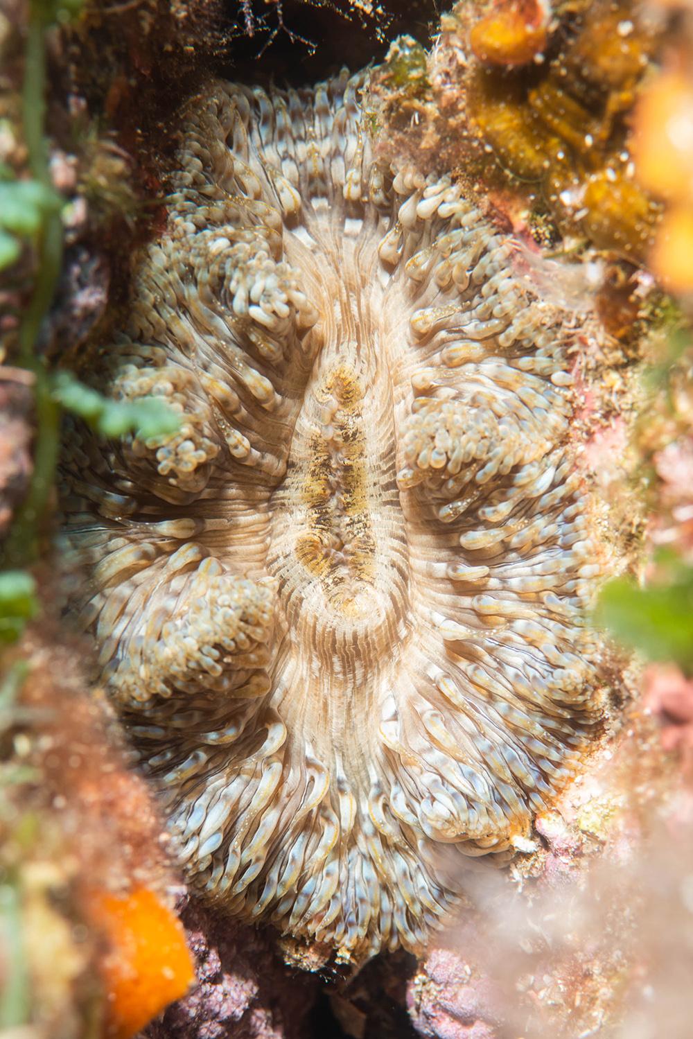 daisy anemone