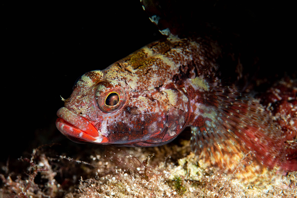 Red-lipped Goby (Gobius cruentatus)
