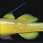 Tiny New Fishes: Priolepis billbrooksi, Gobiopsis jackbrooksi, Tomiyamichthys stuarti, Eviota maculosa, Helcogramma melanolancea
