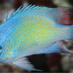 Chrysiptera uswanasi, The Coral Triangle's Newest Microendemic Damselfish