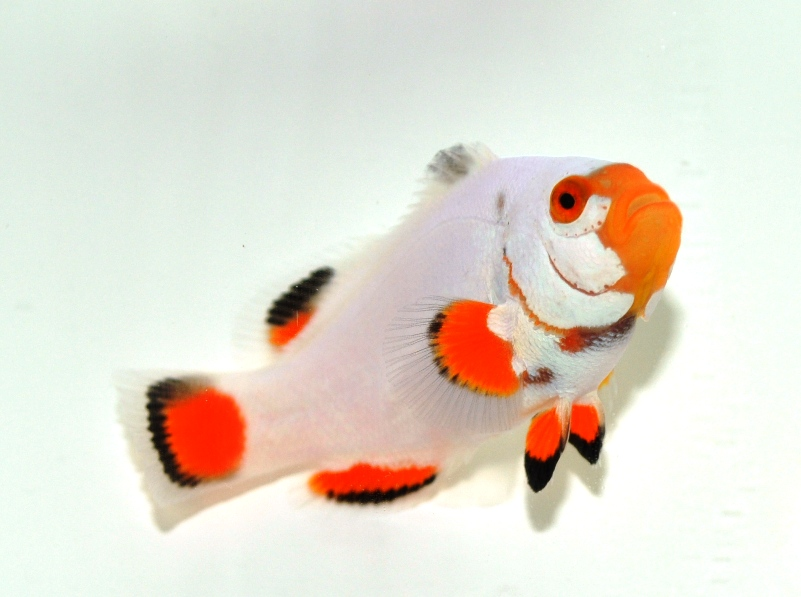 17_a_percula_platinum_www_sustainableaquatics_com.jpg