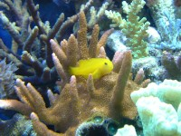 yellowgoby.JPG
