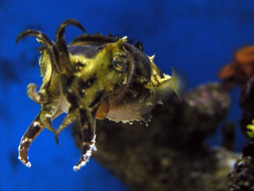 cuttlefish_image01.JPF