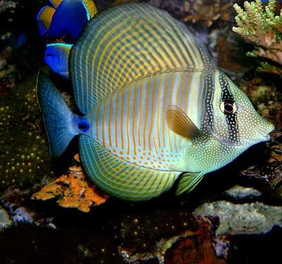 red-sea-sailfin-2-5-02-web.jpg