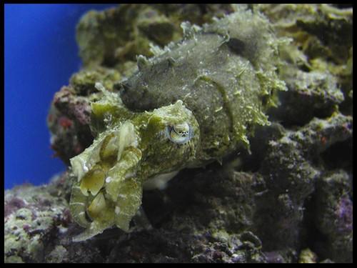 cuttlefish_image06.JPG