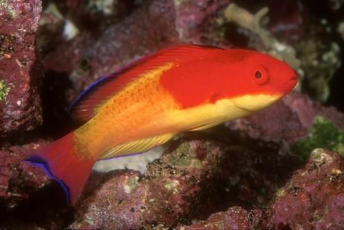 CoralSeaFairyWrasse.jpg