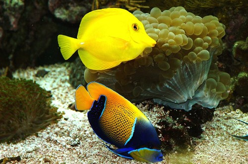 Majestic and Yellow Tang