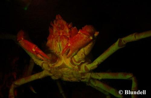 blundell_crab2.jpg