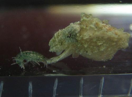 cuttlefish_image14.JPG
