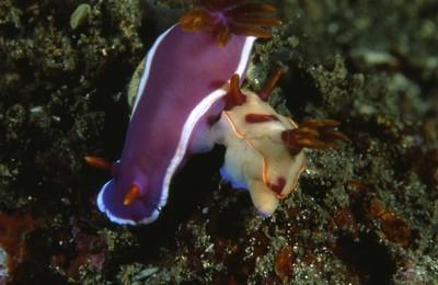 Hypselodoris-bullocki.jpg